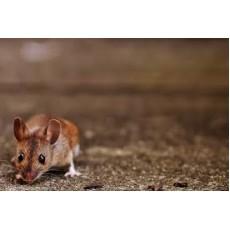 5 знака, че не сте се отървали от мишките