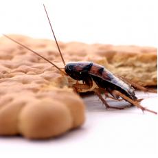 Как да унищожим хлебарките за по-малко от 1 седмица