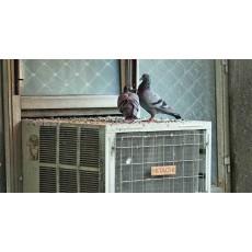 5 ефективни домашни средства за прогонване на гълъби