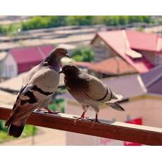 Прогонете гълъбите от терасата - лесно и бързо