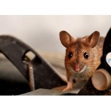 Мишки и плъхове – колко вредни всъщност са те?