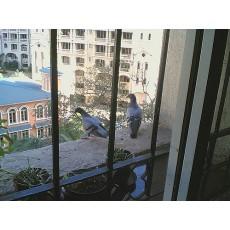 Как бързо да прогоня завинаги птиците от балкона?