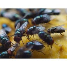5 лесни начина да прогоним мухите от кухнята