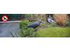 Плашило за дребни птици (гълъби, косове, синигери и др.)  във формата на Гарван в естествен размер. (2) на най-добра цена