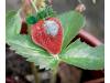 Натурален спрей против брашнена мана по лозята, сива плесен/сиво гниене по растенията, FLortis Naturae, 500 мл. (2) на най-добра цена