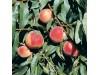 Жълт холотропен капан с лепило за Листни въшки и Плодови мушици, Flortis Bio – 5 бр. (2) на най-добра цена