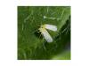 Оранжев холотропен капан с лепило за белокрилки, Flortis Bio – 5 бр. (4) на най-добра цена