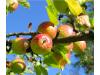 Бял холотропен капан с лепило за плодови и листни мухи, оси и зелена миризлива дървеница по доматите, Flortis Bio – 5 бр. (2) на най-добра цена