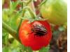 Бял холотропен капан с лепило за плодови и листни мухи, оси и зелена миризлива дървеница по доматите, Flortis Bio – 5 бр. (3) на най-добра цена