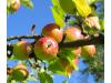 Капан с феромонова уловка за ябълков плодов червей / ябълков молец, Flortis Eco (2) на най-добра цена