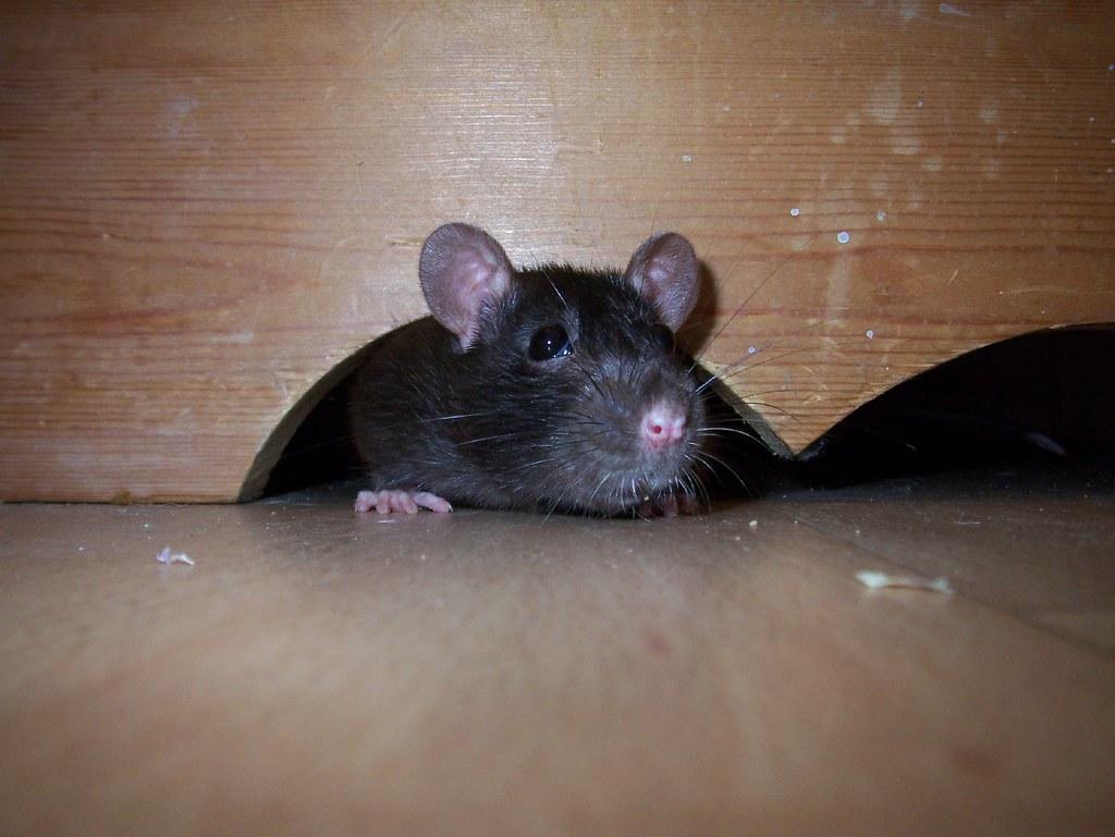 Гонене на мишки от дома (1)