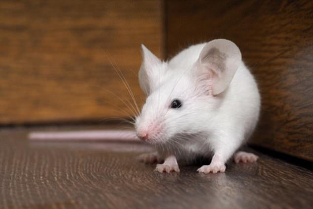 Страхуват ли се мишките от кучета (1)