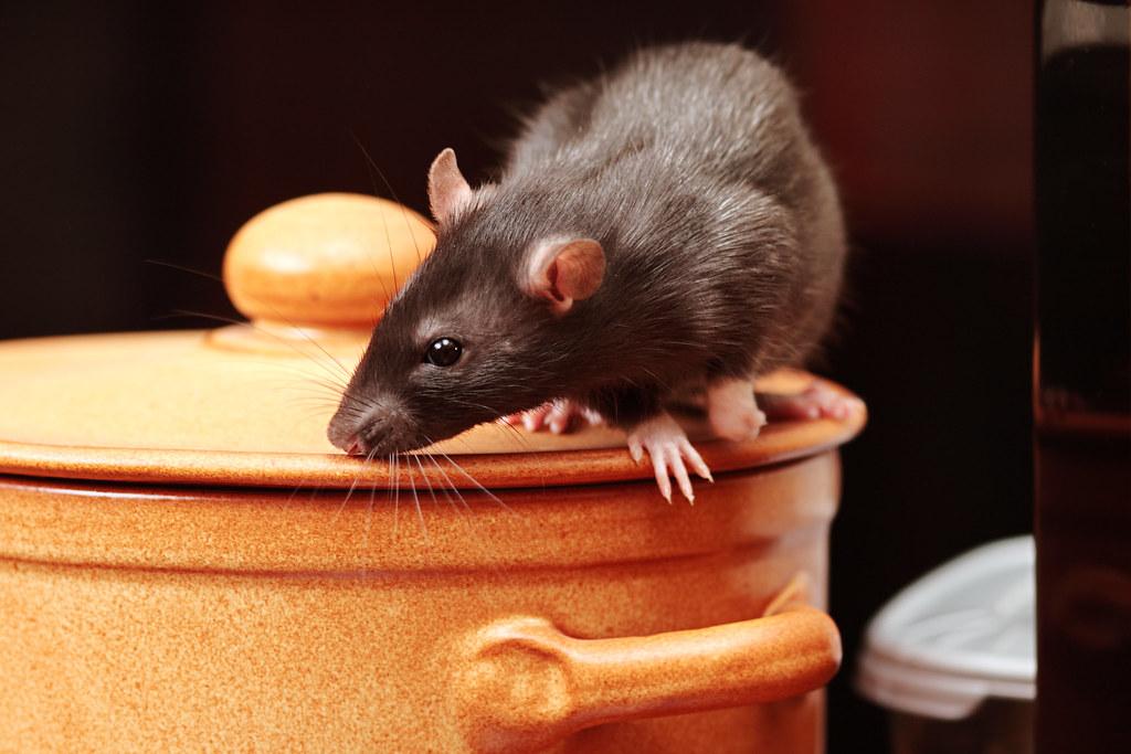 Мишки в кухнята 3 лесни средства за прогонване (1)