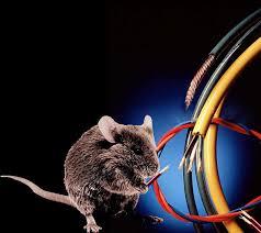 Мишка яде кабели как да се отървем от мишките