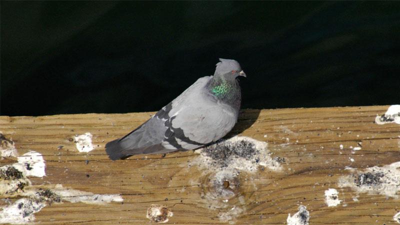 Доказани продукти за прогонване на гълъби от тераста Виж повече