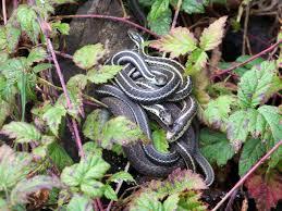 Срещу змии и влечуги - да предпазим двора с репеленти и уреди срещу змии!