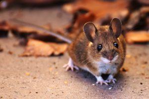 Ефективни начини за прогонване на мишки и плъхове.
