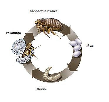 Препаратите против бълхи и метаморфозата на насекомите