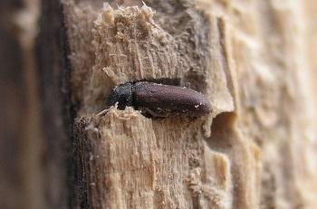 Ефикасни препарати за дървояди