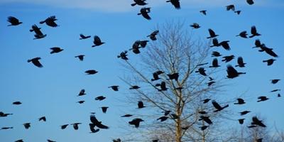 Птицегони ефективни срещу птиците