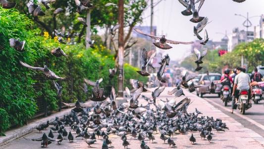 Шипове против гълъби 6